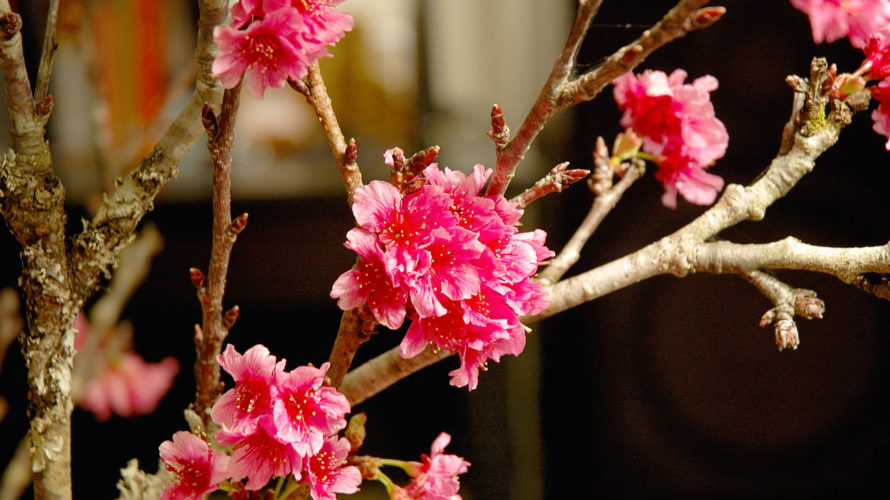 ハワイの桜