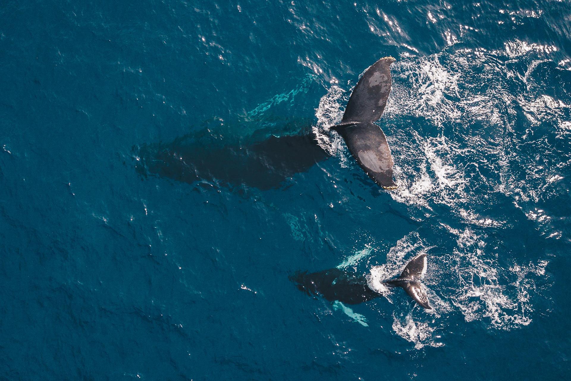 ハワイのザトウクジラとホエールウォッチング
