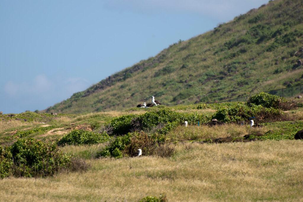 コアホウドリの集団繁殖地